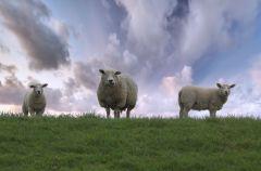 Pasení ovcí v Beskydech